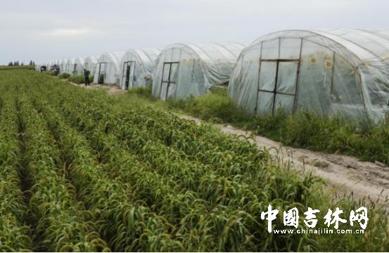 精准扶贫,政府出资给同德村新建了20个大棚,第一茬香瓜已经销售一空。