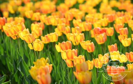 郁金香花艳丽盛开 引得游客置身花海
